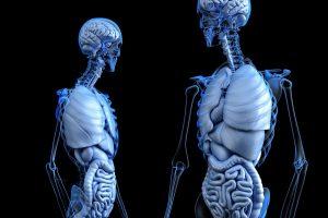 Kumpulan Kosakata Bahasa Inggris Mengenai Organ Dalam Tubuh Manusia